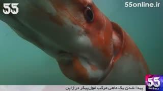 پیدا شدن یک ماهی مرکب غولۤپیکر در ژاپن