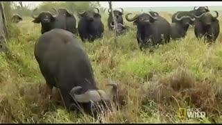 گاومیش ها در مقابل شیرها
