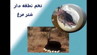 جوجه کشی از تخم نطفه دار شترمرغ