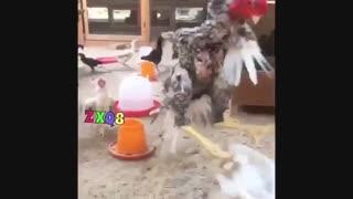 خروس وارد میشود با بازی خروس لی