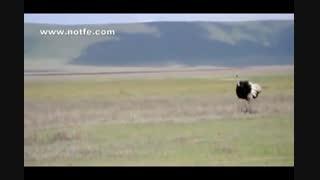 دعوای شتر مرغ