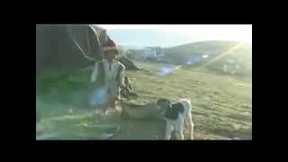 درنا*ترکی قشقایی
