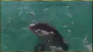 ماجرای دلفینی که سگی را از مرگ حتم نجات داد !!!!!!!