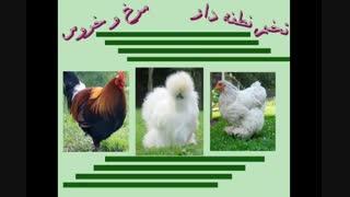 مرغ و خروس-تخم نطفه دار مرغ و خروس