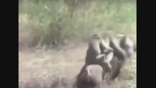 سواری میمون از گراز