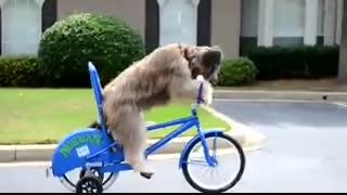 سگ دوچرخه سوار