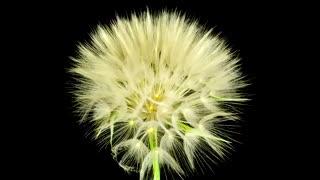 گذر زمان دیدنی از لحظه شکفتن گل های زیبا(تایم لپس)