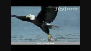 شکار کردن عقابهای ماهی خوار