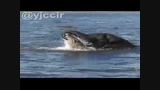 درگیری فیل با تمساح