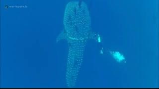 یک کوسه ماهی که برای نجات خودش با غواص همکاری می کند - مجله دنیای حیوانات