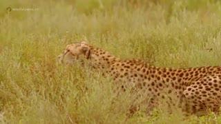 چیتا شکارچی ای با سرعت فوق العاده - مجله دنیای حیوانات
