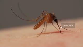فرایند دردناک نیش خوردن و مکیده شدن خون بدن توسط پشه