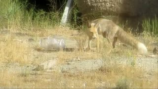 فیلمبرداری من از روباه ها!( مستند سوم)ببینید!!