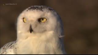 ویدئو کلیپ جدال جغد در مقابل گرگ - مجله دنیای حیوانات