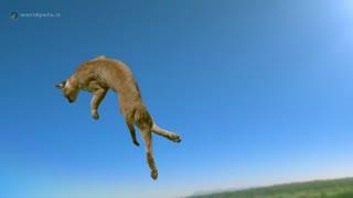 ویدئو کلیپی از پرش گربه - مجله دنیای حیوانات