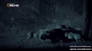 حمله ی شبانه ی وحشتناک  گله ی شیر ها به بوفالو HD