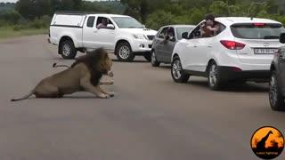 شیر ها به توریستان نشان دادند که چرا باید در ماشین بمانند