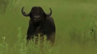 مستند زیبای حیات وحش افریقا شامل شیر و بوفالو  جنگ حیات وحش hd