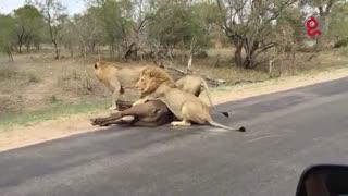حمله ی شیر به بوفالو و خوردنش در جلوی چشم توریستان