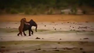 زیبا ترین نبرد های حیات وحش HD