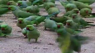 غذا دادن به صدها طوطی