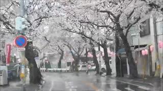 جشن ساکورا در ژاپن