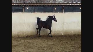 نمایش و رقص زیبای «زاشا دانایی»  اسب اصیل عرب ایرانی