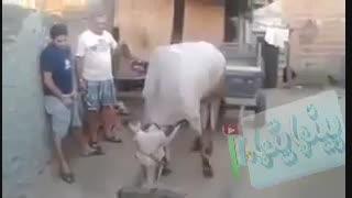 بنظرتون گاوها خنگ هستند؟-پس اینو ببینید!