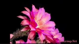 نمود قدرت خداوند در گل های کاکتوس - تایم لپس -
