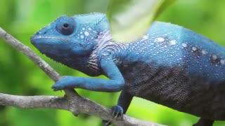 تغییر رنگ حیرت انگیز آفتاب پرست - مجله دنیای حیوانات