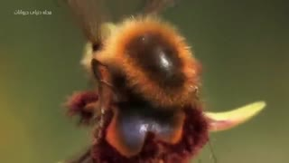 مستندی فوق العاده دیدنی از زنبور عسل در نمای نزدیک