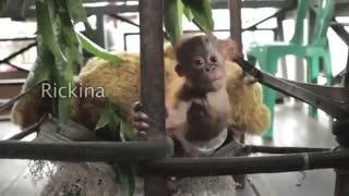 بچه اورانگوتان ( اسمش ریچکیناست)