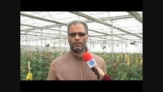 پرورش گل رز هلندی در بروجرد