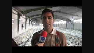 پرورش مرغ در خرم آباد