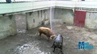 گاوهای وحشی رو کجا نگه می دارند؟؟