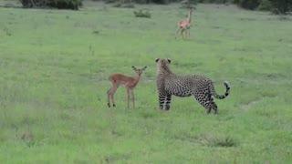 رفتار عجیب یوزپلنگ قبل از کشتن بچه آهو